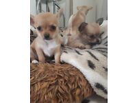 Gorgeous chihuahua pups 3 girls 1 boy