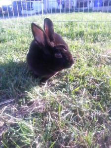 Black male mini Rex rabbit named smartie