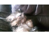 shih tzu pup 5 monts old