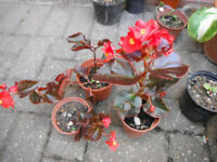 Plants for sale-Red leaf begonia plants-50p to 70p per pot