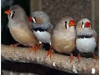 Zebra Finches for sale - Bright and lively and joyful