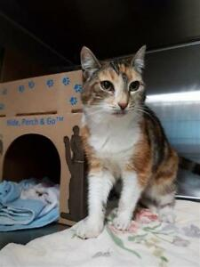 "Senior Female Cat - Domestic Short Hair: ""Venus"""