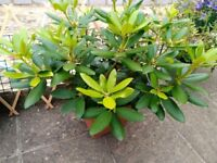 2 X Rhododendron Plants