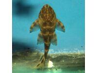 L103 Clown Pleco 5-6cm - live tropical fish