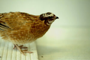 Quail chicks, females and hatching eggs