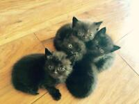 Beautiful Persian X kittens - ready to go end of the week
