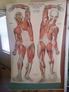 Old Roll Up Wall Chart - Muscles - Circa 1906