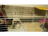 3 male Guinea Pigs with cage, food, bedding
