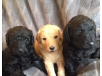 Top quality labradoodle pups fantastic family dogs