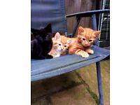 4 fluffy half Norwegian Forest kittens