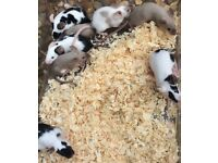 Female Baby Mice For Sale