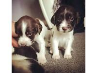 Pedigree English springer spaniel puppy
