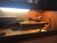 3 baby bearded dragons and full setup