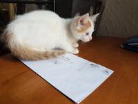 Beautiful Male Kitten for sale Turkish Ankora 9th Weeks