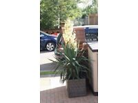 Big and hardy Yucca/palm tree in a pot