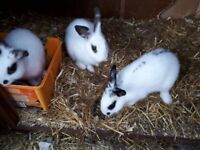 Baby Rabbits age 10-12 weeks. 1 males and 6 females