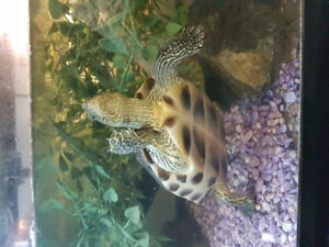Golden thread turtle with everything but tank