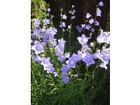 PERENNIAL CAMPANULA LARGE BLUE/WHITE BELL FLOWERS UP STEM