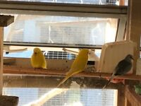 Lutino yellow budgies