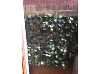 Brand new ivy leaf screaning