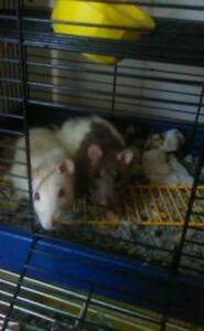 free female fancy rats need good home
