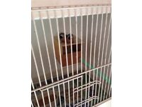 Lovely pair ov parson finches £30ono