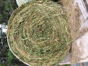 Peas and oats silage