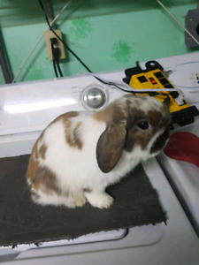 MWF PEDRO PEDIGREED HOLLAND LOP