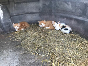 Kittens - Farm Raised