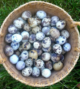 Quail hatching eggs from different breeds