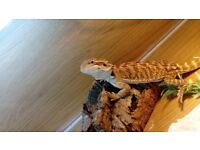 Bearded dragon, 3/4months old. Including 4f viv and all accessories