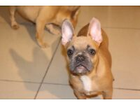 Superb quality lilac producing French bulldogs for sale