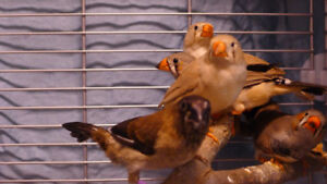 Beautiful Zebra and Society Finches for Sale