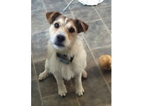 Jack Russell 1year old