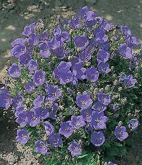 Campanula carpatica Clips Deep Blue    500 seeds  Need More?  Ask Carpatica Blue Clips