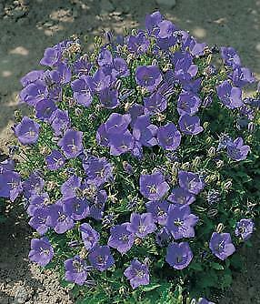 Campanula (Bellflower) carpatica Clips Deep Blue    1,000 seeds   Need More? Ask Carpatica Blue Clips