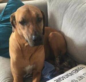RSPCA LOST DOG - ZOE AID990520 - HOLLAND PARK - 16/02/17 Holland Park Brisbane South West Preview