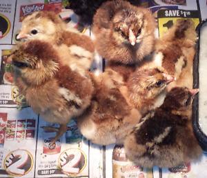Taking orders for Partridge Chantecler Chicks