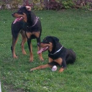 Looking For Male Rottweiler For My Two Females.