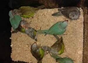 Handreared Birds available ONCE WEANED Gosnells Gosnells Area Preview