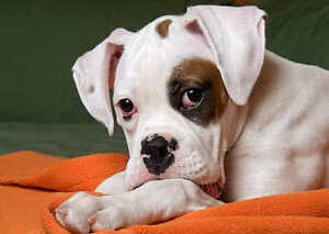 Looking for a White Boxer puppy with brown spots.