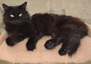 AC0395: Gypsy - CAT for ADOPTION - Vet work Included High Wycombe Kalamunda Area Preview