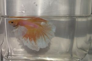 Dumbo Ear/Elephant Ear Betta Fish London Ontario image 2