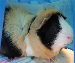 """Adult Male Small & Furry - Guinea Pig: """"Spice"""""""