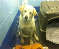 "Young Male Dog - Great Pyrenees-Golden Retriever: ""Jethro"""