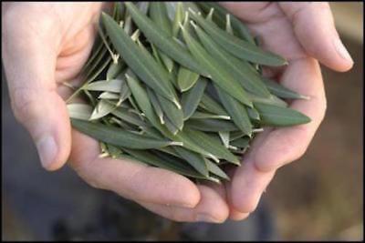 450g Tea - 450g /15.80oz Pure Olive Leaf Tea Organic dried or fresh Leaves Olea Europaea