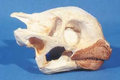 Aldabra Tortise   Skull  Replica