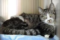 """Young Female Cat - Domestic Short Hair: """"Foxy"""""""