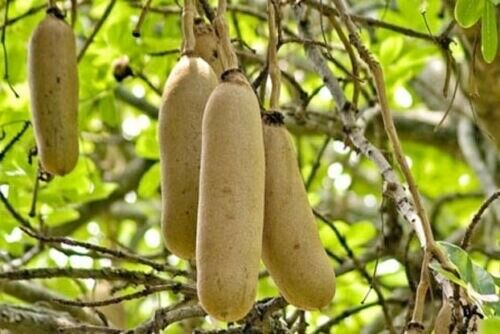 SAUSAGE TREE (Kigelia africana) 10 seeds | eBay