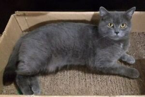 "Adult Female Cat - Domestic Short Hair: ""Alysse"""